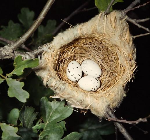 Яйца иволги