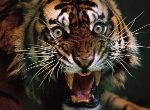 Рычание тигра
