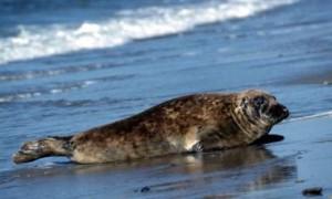 Морской тюлень