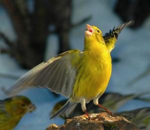 Песня птицы