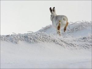 Заяц беляк