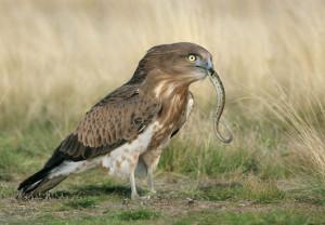 Орел змееяд