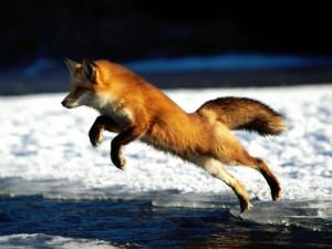 Обыкновенная лиса