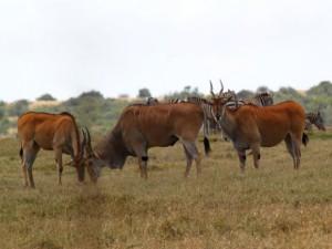 Виды антилоп