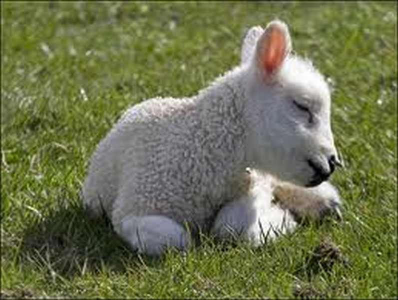 Что будет если я трахнул овечку 17 фотография