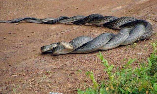Кусает в член змея знатоки