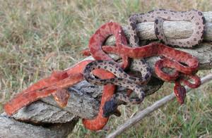 Пресмыкающиеся змеи