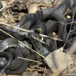Общая характеристика змей