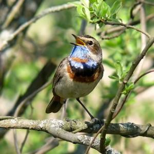 Птичьи голоса