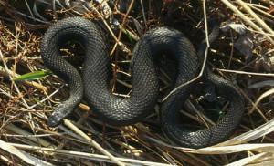 Неядовитая змея