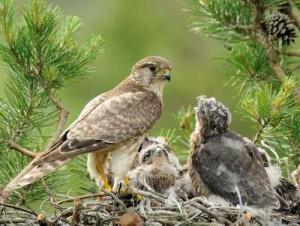 Гнездо кречетов