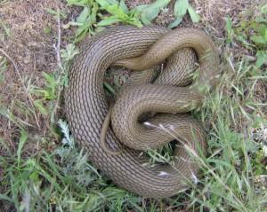 Не ядовитая змея