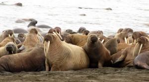 Животные моржи