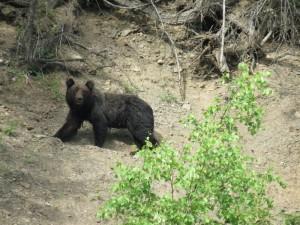 Медведь пестун