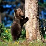 Бурый медвежонок