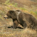 Медвежья охота