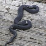 Страшная змея