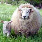 Домашние овцы