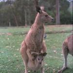 Животное кенгуру