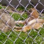 Кошка рысь