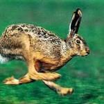 Охота на зайца с гончей