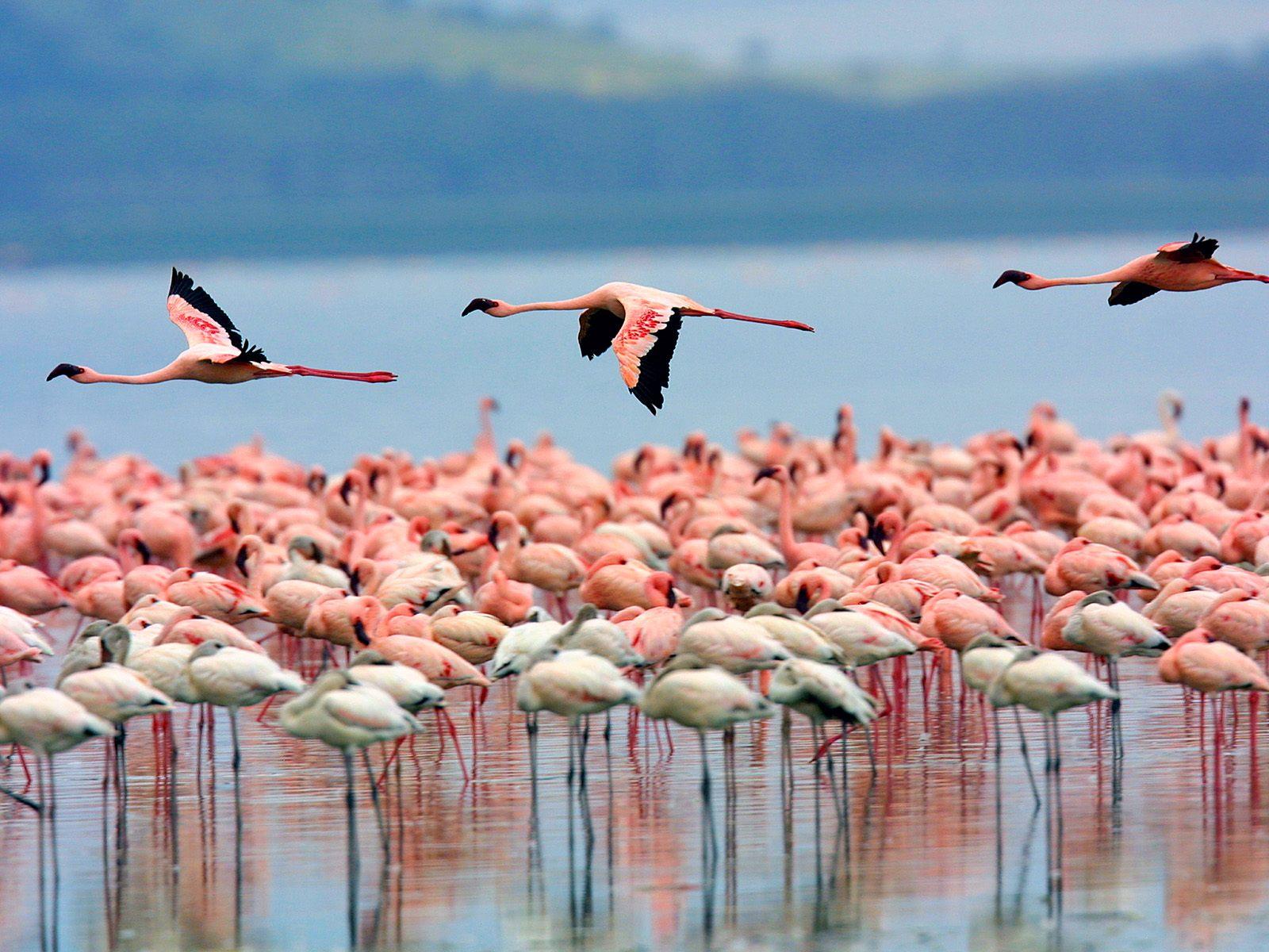 Замечательных бело розовых фламинго