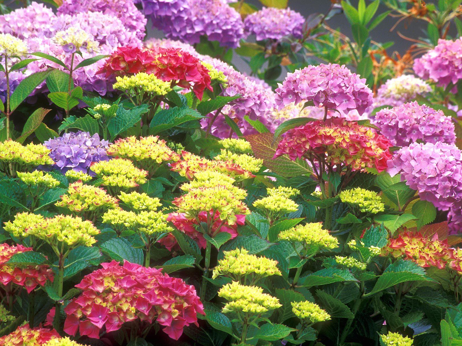 Многолетние цветы, высаживаемые вдоль ...: bytrina11.ru/posadki-mnogoletnih-tsvetov-vdol-dorozhek