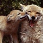 Семейство волков