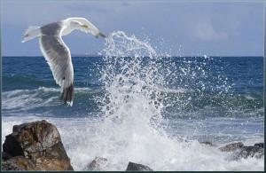 Морская чайка, фрегаты, редкий вид птиц, парить над океаном, быстрый полет