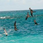Фрегаты, морская чайка, редкий вид птиц, парить над океаном, быстрый полет