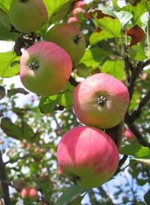 Сорта яблок, дубильные вещества, белая смородина, листовая капуста, работоспособность человека, суточная норма