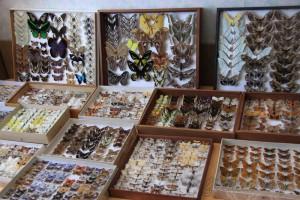 Коллекция бабочек, образ жизни, центральная Африка, полезные растения, наука о бабочках