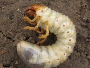 Личинка жука, вредитель, вредный жук, жуткое зрелище