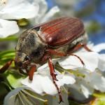 Вредитель, личинка жука, вредный жук, жуткое зрелище