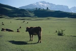 Каждый день, скотный двор, лай собак, стадо, пастушьи собаки, группы животных