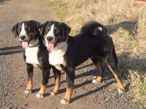 Пастушьи собаки, скотный двор, каждый день, лай собак, стадо, группы животных
