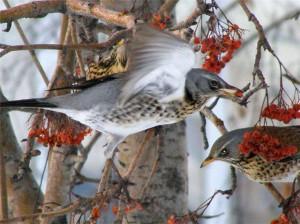 Виды птиц, хищные птицы, дрозды, жаворонки, свиристели, плоды и семена