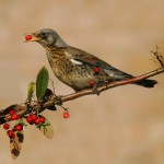 Растительноядные птицы