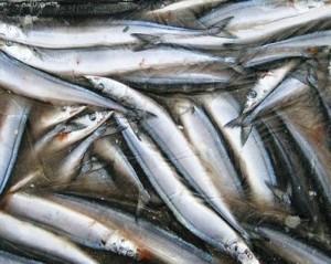 Сайра, килька, морские рыбы, рыбопродуктивность, рыбный промысел
