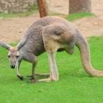 Родина кенгуру, чистая питьевая вода, австралийские кенгуру, исполинские кенгуру, виды кенгуру