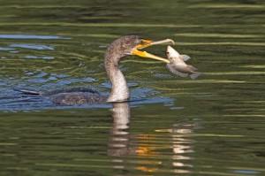 Плавающие птицы, виды птиц, серая цапля, каравайка, колпица, бакланы