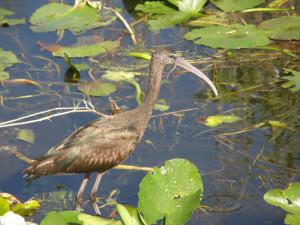 Капавайка, виды птиц, серая цапля, плавающие птицы, колпица, бакланы
