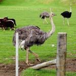 Страусы, разведение страусов, нелетающая птица, в зоопарке, живой вес