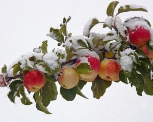 Зимние сорта яблок, сорт яблок, пектиновые вещества, содержание витамина С, полезность яблок