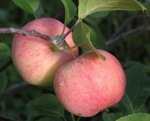 Содержание витамина С, сорт яблок, зимние сорта яблок, пектиновые вещества, полезность яблок