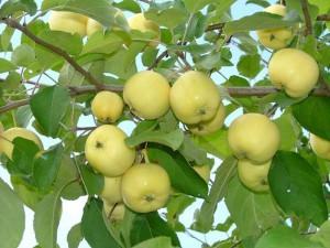 Полезность яблок, сорт яблок, зимние сорта яблок, пектиновые вещества, содержание витамина С