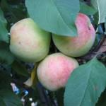 Сорт яблок, зимние сорта яблок, пектиновые вещества, содержание витамина С, полезность яблок