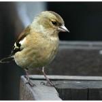 Зерноядные птицы