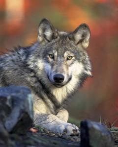 Среди волков