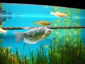 Живородящие рыбки